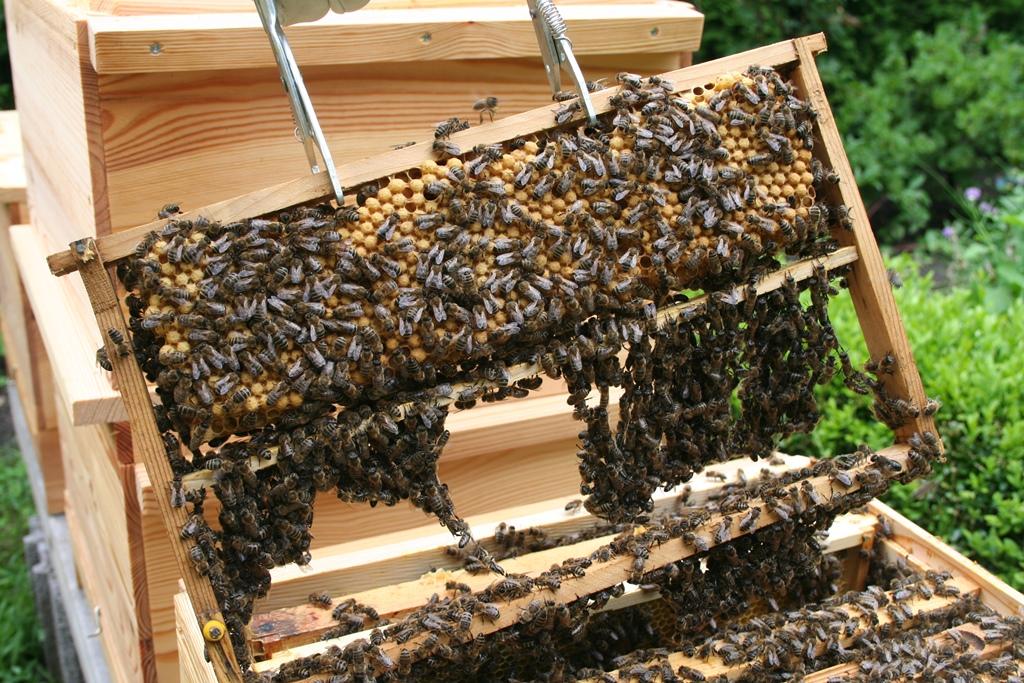Bienenbaukette